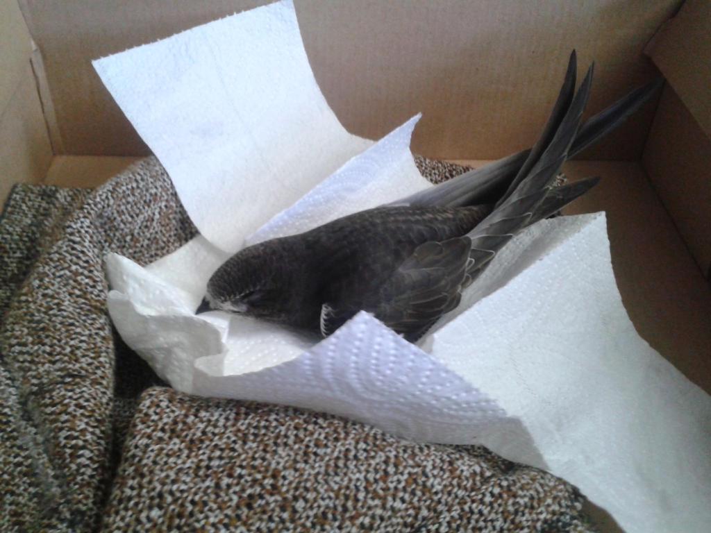 Nestling Swift by JennIncane