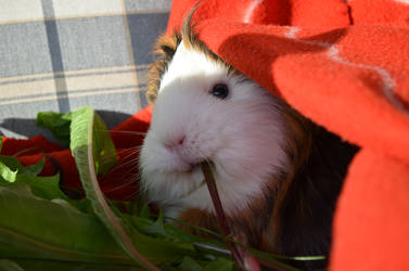 derping by Guineapigrage