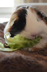 Lettuce by Guineapigrage