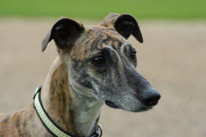 Holly The Greyhound by MrBUG