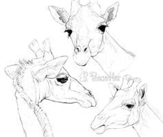 Giraffe Studies