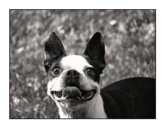 How A Boston Terrier Laughs by JennyJenna