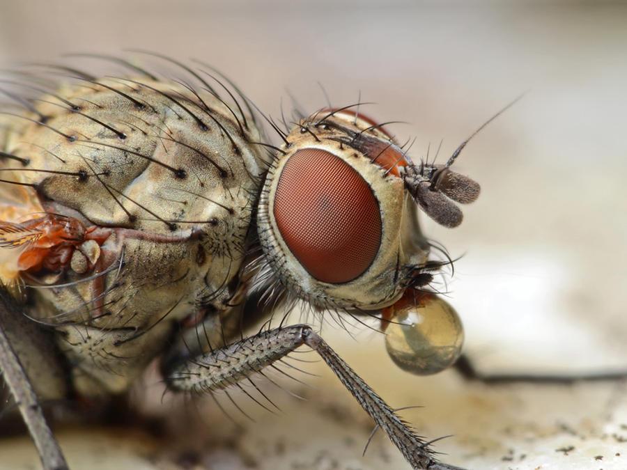 Muscid fly - Coenosia attenuat by Smederevac