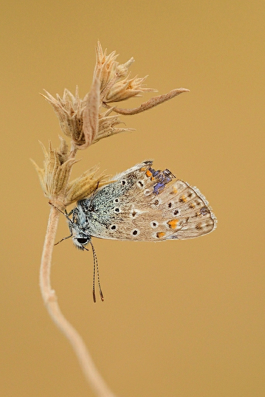 Common blue butterfly by Smederevac