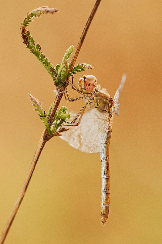 Dragonfly by Smederevac