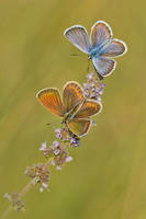 Two Butterflies by Smederevac