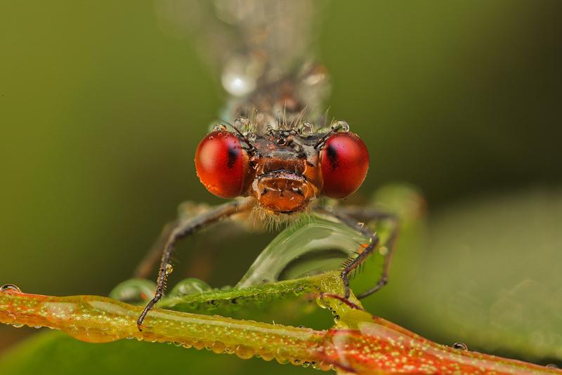 Red Eyes by Smederevac