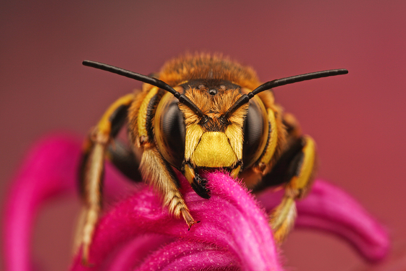 Wool Carder Bee by Smederevac