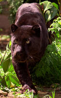 Panthers are not BLACK by lnoon