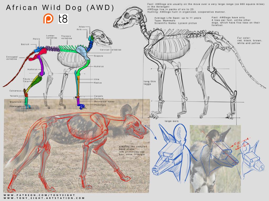 Patreon - African Wild Dog Anatomy 11 by T-Eight on DeviantArt
