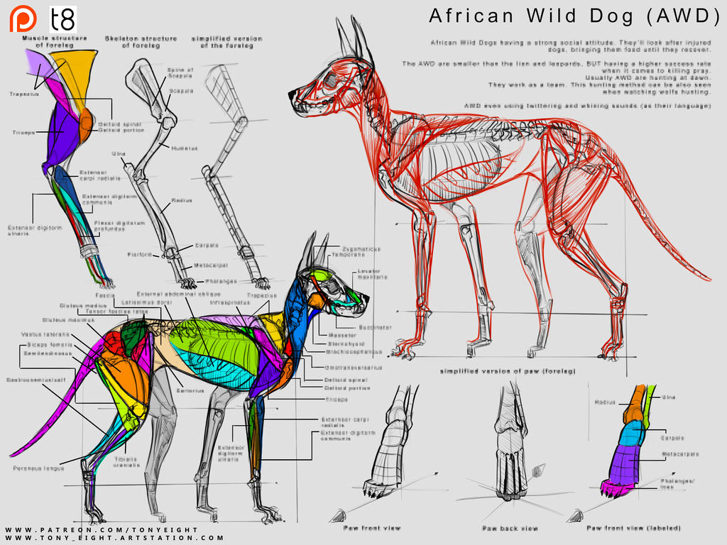 Patreon - African Wild Dog Anatomy 14 by T-Eight
