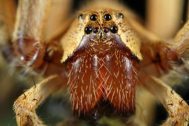 Spider Pisauridae family by RichardConstantinoff