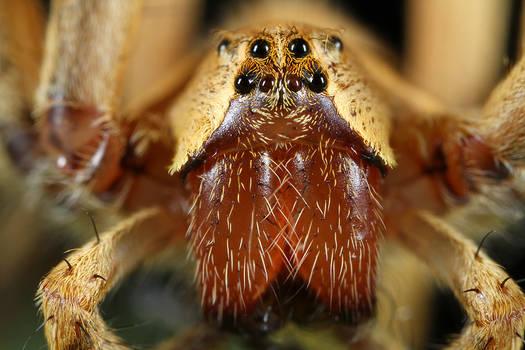 Spider Pisauridae family