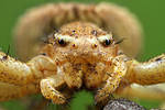 Crawling Spider  Xysticus sp.