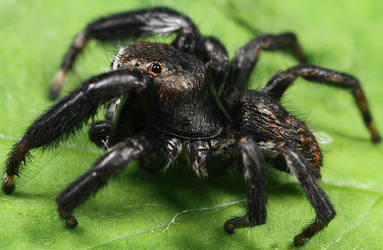 Jumping Spider 4