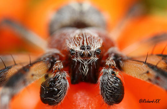 Boxing Spider