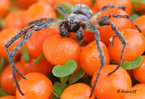 Boxing Spider_