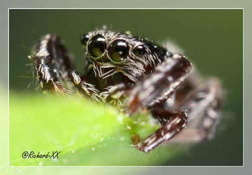 Jumping Spider 5