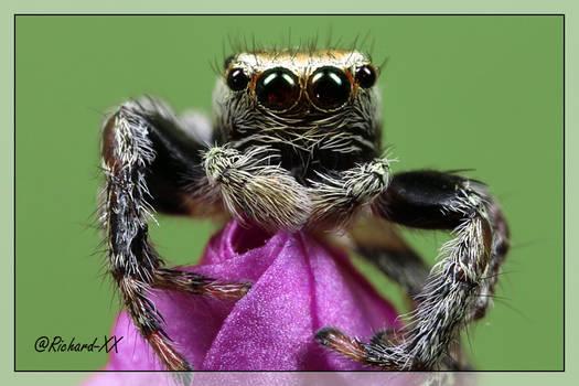 Jumping Spider 6
