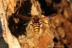 Hornet - Vespa crabro by RichardConstantinoff