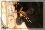 Hornet - Vespa crabro _ by RichardConstantinoff