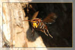 Hornet - Vespa crabro _