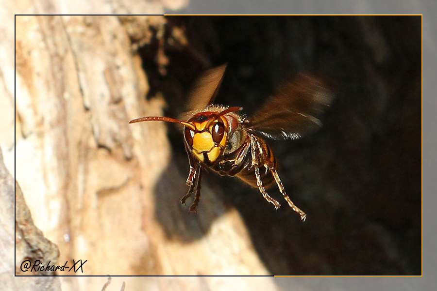 Hornet - Vespa crabro _ by RichardConstantinoff