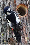 Woodpecker _