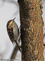 Common Treecreeper by RichardConstantinoff
