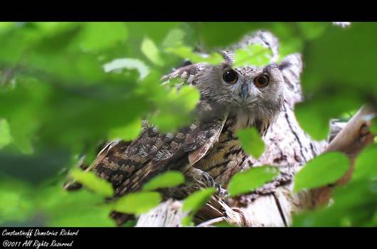 Eurasian Eagle - owl