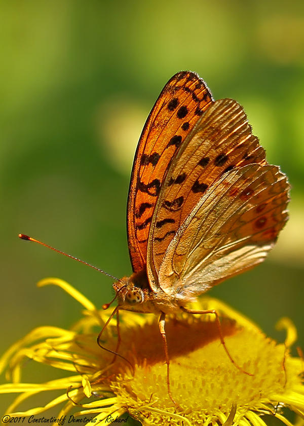 Argynnis adippe by RichardConstantinoff