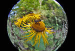Bumble bee with 8-15mm Fisheye