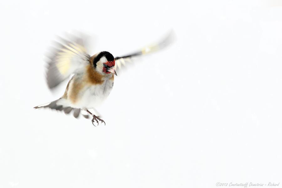 Wild Angel by RichardConstantinoff