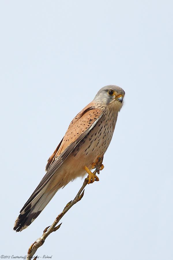 Falco tinnunculus by RichardConstantinoff