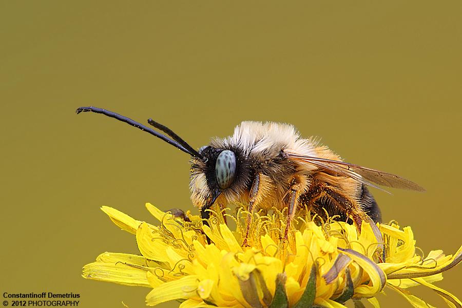Bumblebee by RichardConstantinoff