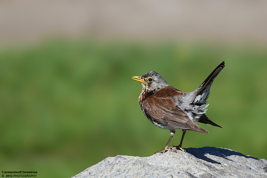 Turdus pilaris by RichardConstantinoff