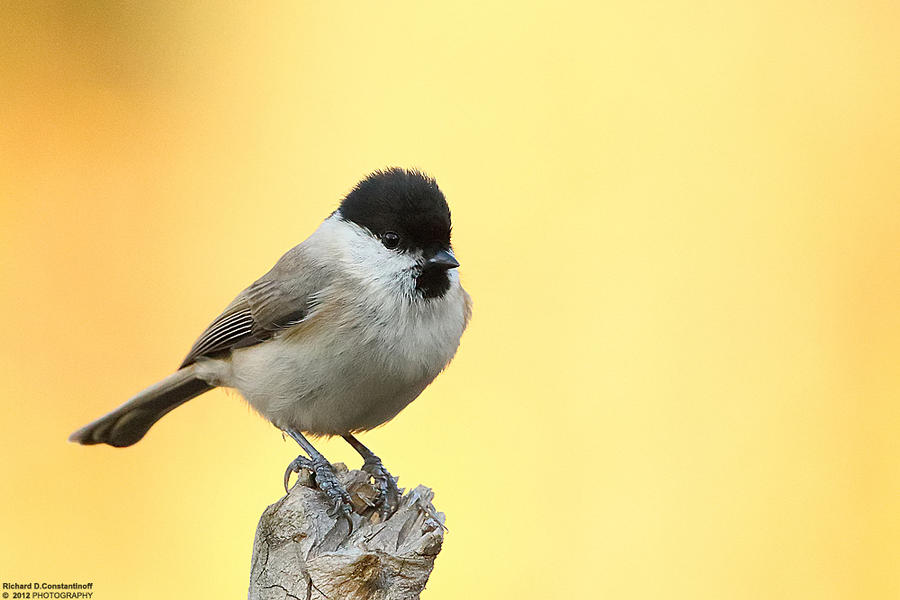 The first photo with Canon 1D X-Parus palustris by RichardConstantinoff