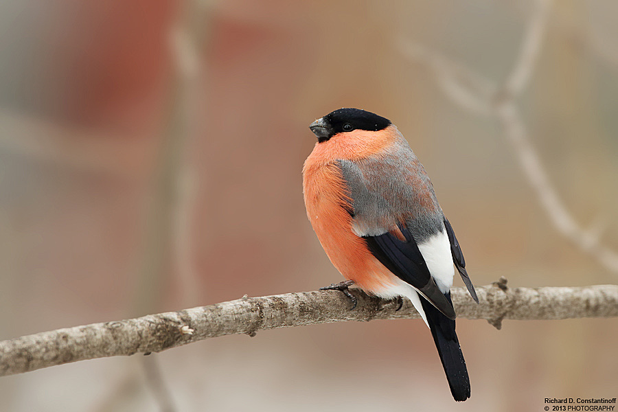 Pyrrhula pyrrhula - Eurasian Bullfinch by RichardConstantinoff