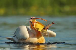 Pelican by RichardConstantinoff