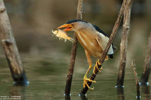 Little Bittern by RichardConstantinoff