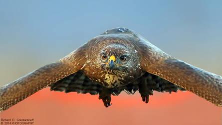 Common Buzzard - Sorecar by RichardConstantinoff