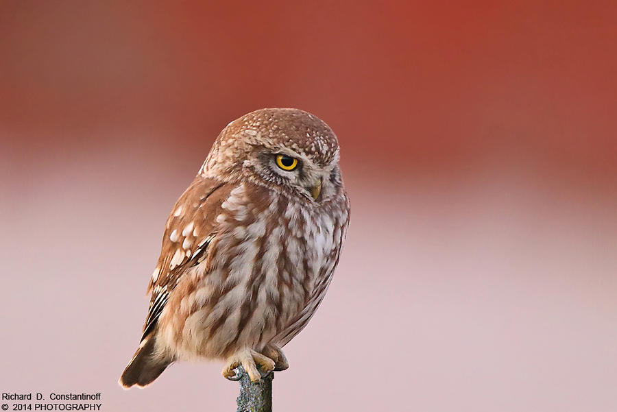 Little owl - Athene noctua by RichardConstantinoff