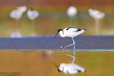 Recurvirostra avosetta by RichardConstantinoff