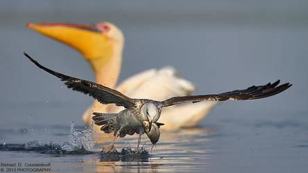 Caspian Gull by RichardConstantinoff