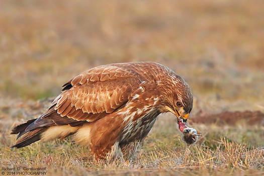 Common Buzzard  with its prey