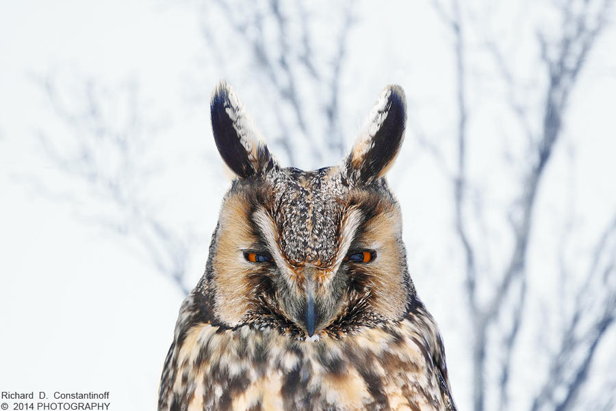 Long-eared Owl by RichardConstantinoff