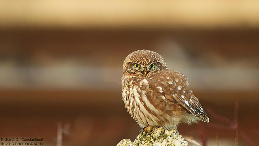 Little owl by RichardConstantinoff