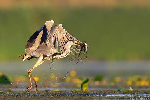 Grey heron with prey