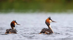 Couple of Great Crested Grebe with baby