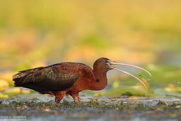 Ibis by RichardConstantinoff